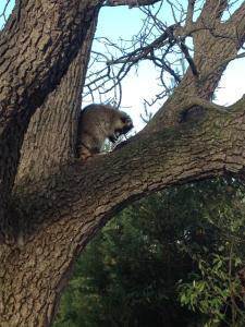 Raccoon in Walnut Tree