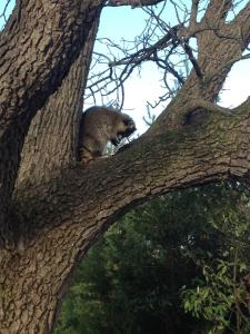 Raccoon in Walnut Tree
