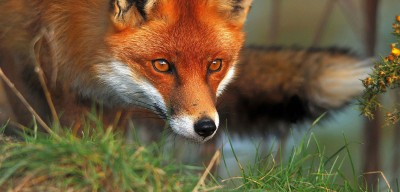 red-fox cropped-400x192